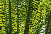 Tree fern — Stock Photo