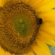 Stock Photo: Sunflower with bumblebee