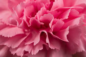 Carnation Flower — Stockfoto