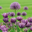 Stock Photo: Purple Allium