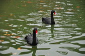 Balck swans. Retiro Park. Madrid. Spain — Stock Photo