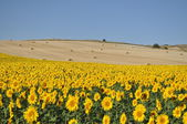 .Sunflowers and bales. Valladolid. Spain. — 图库照片