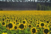 Sunflowers. Valladolid. Spain. — 图库照片