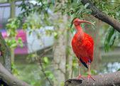 Ibis szkarłatny — Zdjęcie stockowe