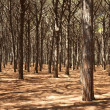 Stock Photo: Pine tree forest