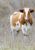 White-red cow closeup — Stock Photo