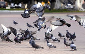 A flock of pigeons on the fly bite seeds in the Park — Stock Photo