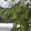 Spruce branches — Stock Photo #37874095