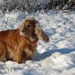 Cocker spaniel in winter — Stock Photo