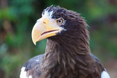 Stelller's sea eagle (Pelagicus haliaeetus) — Stock Photo
