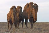 Bactrian camels (Camelus bactrianus) — Stock Photo