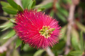 Red bottlebrush flower (Callistemon citrinus) — Stock Photo
