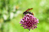 Giant wasp (Scolia maculata) — Stock Photo