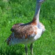 Stock Photo: Great bustard