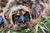 Nestling of short-eared owl — Stock Photo