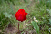 Wild tulip — Stockfoto