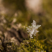 Icy moss plant — Stock Photo