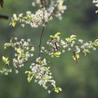 Blooming chestnut branch — Stock Photo