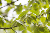 Linden tree branches — Stock Photo