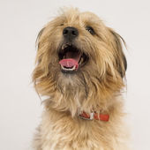 Woofing fluffy dog — Stock Photo