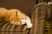 Tomcat na hnědé křeslo — Stock fotografie