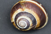Orchard snail (Helix pomatia) - shell — Stock Photo