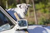 Baby goat portrait with a rusty car — Stock Photo