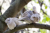 Mourning Doves — Stock Photo