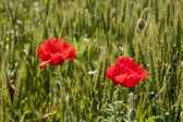 Poppies in the wheat field — Stock Photo