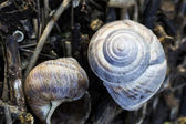 Orchard snail (Helix pomatia) — Stock Photo