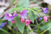 Lungwort plant with flowers — Stock Photo