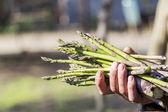 свежая спаржа стебли в руке — Стоковое фото