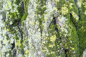 Green moss on tree bark — ストック写真