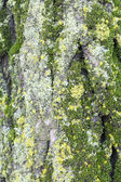Green moss on tree bark — Stock fotografie