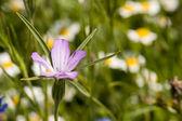 Pink beautiful wild flower — Stock Photo