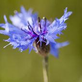 Bachelor's button (Centaurea cyanus) flower — Stock Photo