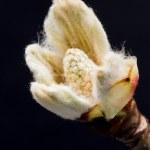 Chestnut blossoming bud — Stock Photo #48147453