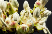 Chestnut bud, flower and small leaves — Stock Photo