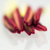Lily stamens — Stock Photo