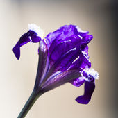 Details from a beautiful, dark blue, iris flower with natural background — Stock Photo