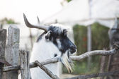 Goat in stall — Stock Photo