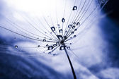Macro, abstract composition with colorful water drops on dandelion seeds — Stock Photo