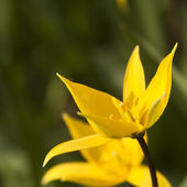 Yellow wild tulip (Bieberstein Tulip) in its natural habitat — Stock Photo