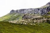 Paisagem com ovelhas de bucegi montanhas, parte dos cárpatos meridional na roménia — Fotografia Stock