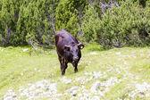 Krajina s krav z bucegi mountains, část Jižní Karpaty v Rumunsku — Stock fotografie