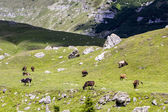 Landscape with cows from Bucegi Mountains, part of Southern Carpathians in Romania — Stock Photo