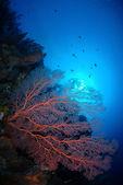 Gorgonian coral — Stock Photo