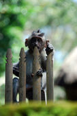 Monkey and a toothpick — Stock Photo