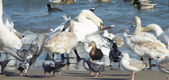 Swans,ducks,sea gulls and pigeons on sea shore — Foto de Stock