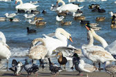 Swans,ducks,sea gulls and pigeons on sea shore — Stock Photo